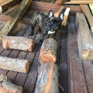 Wynnie with logs - Three Dogs AU