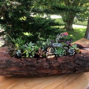 succulent log 3 - Three Dogs AU