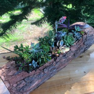 succulent log 4 - Three Dogs AU