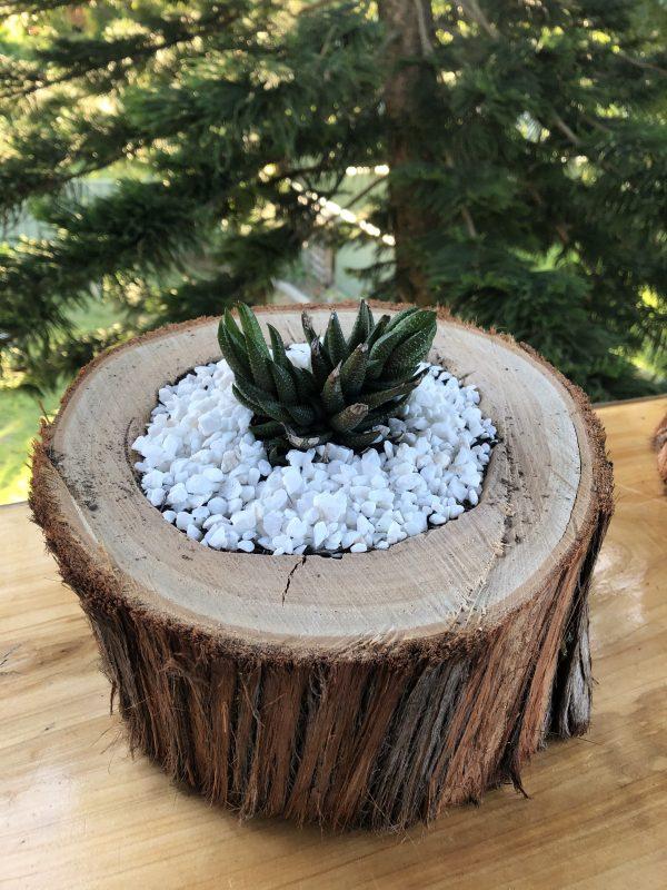 succulent log horizontal cactus - Three Dogs Australia
